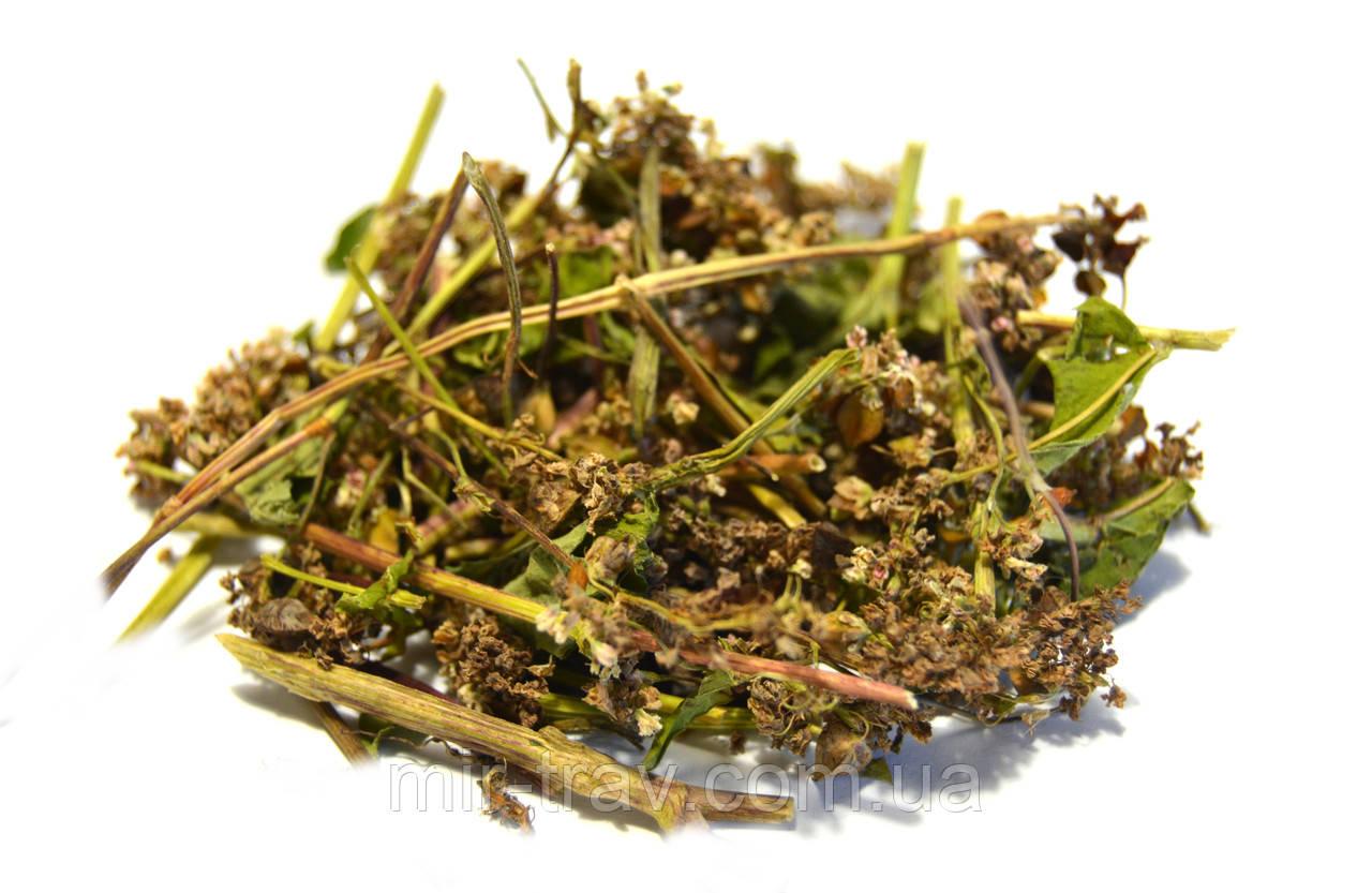 Гречиха посевная трава