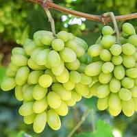 Виноград Арарат (вегетуючих)