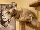 Когтеточка, домики, дряпка для кошек 200 см бежевая, фото 10