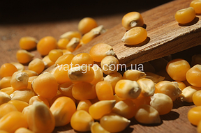 Гібриди кукурудзи Mirasol Seed