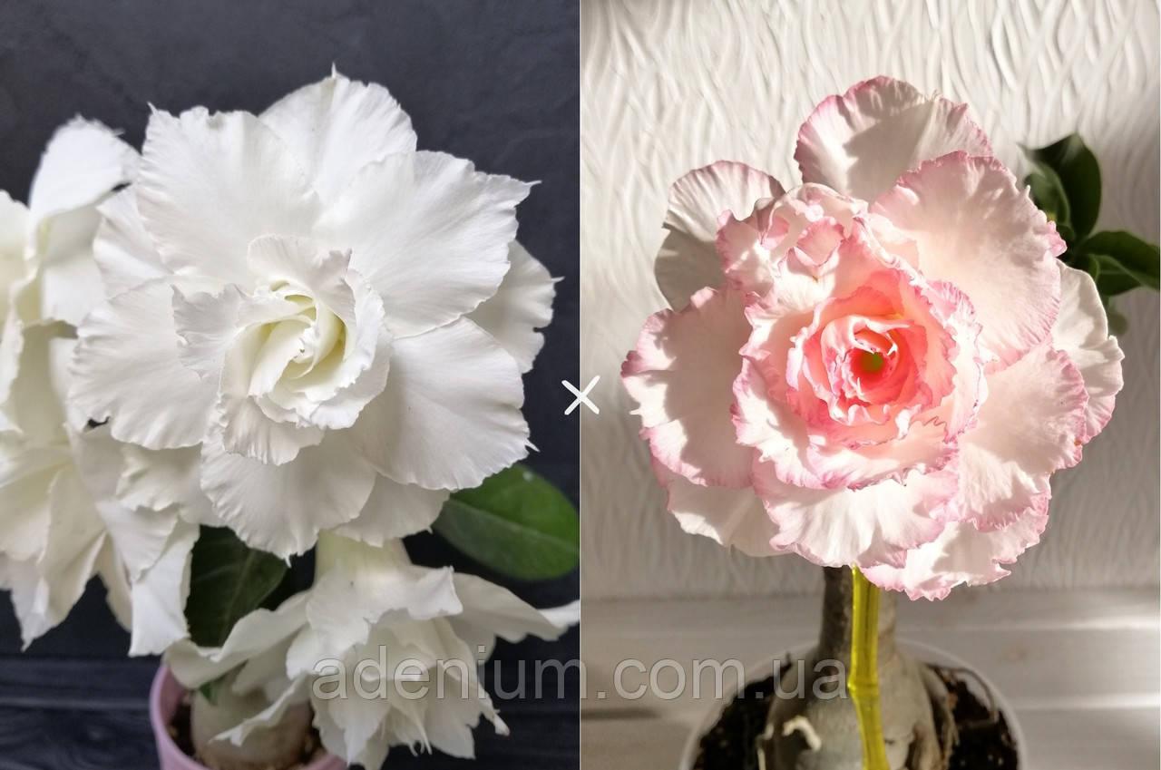 Сеянец White Dolphine × Taiwan Peony (сеянец #1)