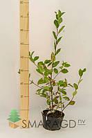 Арония (рябина черноплодная) - Aronia melanocarpa (горшок 2л)