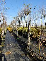 Клен - Acer platanoides Globosum (Pa 80-100см )С20