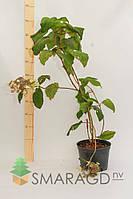 Гортензия - Hydrangea aspera Macrophylla (высота 40-60см)