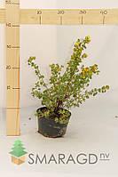 Лапчатка - Potentilla fruticosa Goldfinger (высота 40см)
