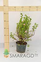 Лапчатка - Potentilla fruticosa Pink Beauty (высота 40см)