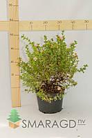 Лапчатка - Potentilla fruticosa Pink Beauty (высота 40см, горшок 5л)