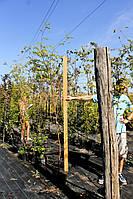 Рябина - Sorbus aucuparia Pendula (высота 200см)