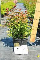 Спирея - Spiraea japonica Crispa (висота 30-40см)