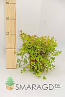 Спирея - Spiraea japonica Goldmound (висота 20-30см)