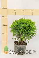 Туя западная - Thuja occidentalis Danica (диаметр 30-40см, горшок 7,5л)