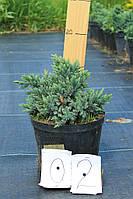 Можжевельник чешуйчатый - Juniperus squamata Blue Star (Pa 120см, горшок 4