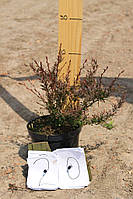 Барбарис - Berberis thunbergii Orange Dream (С5высота 15-20см)