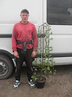 Ива - Salix caprea Kilmarnock (Pa 120см)