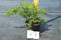 Можжевельник Казацкий - Juniperus sabina Tamariscifolia (высота 20-30см, горшок 3л)