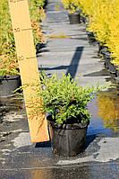 Можжевельник средний - Juniperus pfitzeriana Gold Coast (диаметр 20-25 см, горшок 2л)