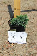 Можжевельник чешуйчатый - Juniperus squamata Blue Star (диаметр 15-20 см, горшок 3л)