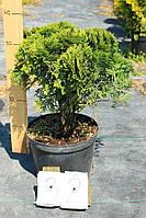 Туя западная - Thuja occidentalis Danica (диаметр 40-50см, горшок 12л)