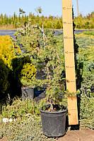 Можжевельник прибрежный - Juniperus conferta Schlager (на бамбуке) (высота 80-100см)