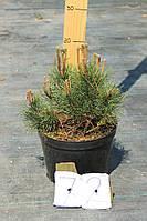 Сосна горная - Pinus mugo var. Pumilio (диаметр 30-40 см, горшок 5л)