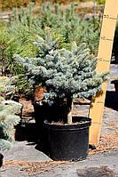 Ель колючая - Picea pungens Glauca Globosa (діаметр 50см, горшок 15л)