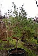 Сосна обыкновенная Pinus sylvestris C210L h2+м