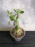 Аденіум RC302 (вариегатный, доросла рослина), фото 2