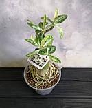 Аденіум RC302 (вариегатный, доросла рослина), фото 3