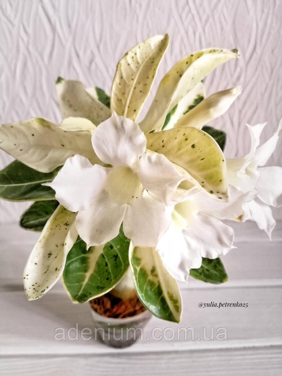 Аденіум Raffaello (молоде рослина, вариегатный)
