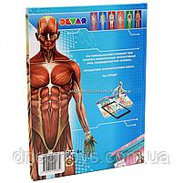 Книга для развития ребенка Devar «Энциклопедия 4D Анатомия в дополненной реальности», фото 5