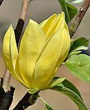 Магнолия гибридная Daphne  (Дафни), фото 4