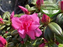 Azalea japonica 'Melina', Азалія японська 'Меліна',C2 - горщик 2л