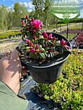Azalea japonica 'Melina', Азалія японська 'Меліна',C2 - горщик 2л, фото 2