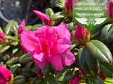 Azalea japonica 'Melina', Азалія японська 'Меліна',C2 - горщик 2л, фото 3