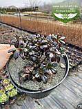 Azalea japonica 'Melina', Азалія японська 'Меліна',C2 - горщик 2л, фото 4
