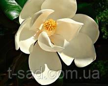Магнолія великоквіткова Grandiflora Alta 45-50см