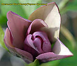 Магнолия Black Beauty ( Блэк Бьюти) 55-65см 3год, фото 3