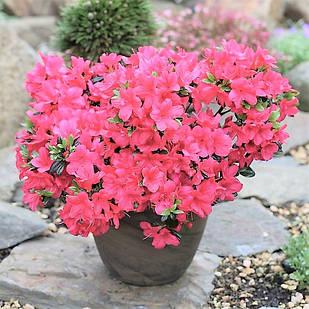 """Рододендрон тупой """"Анук"""" (Rhododendron obtusum 'Anouk')"""