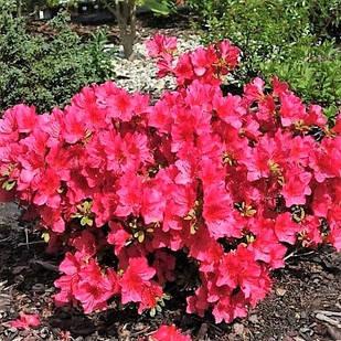 Рододендрон тупой Арабеск (Rhododendron obtusum 'Arabesk')
