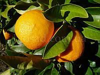 Апельсин Навелина (Navelina), самоплодный, фото 1