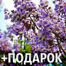Павловния войлочная семена (около 2500 шт) для саженцев, Paulównia tomentósa (томентоза)+ инструкция + подарок