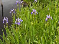Різнобарвний ірис болотний, Iris versicolor