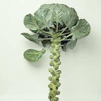Семена капусты брюссельской Бриллиант F1 2500 шт Hazera / Хазера