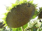 Семена подсолнечника Нистру (экон.)
