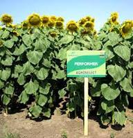 Семена подсолнечника Перформер, позднеспелый высокотехнологичный гибрид
