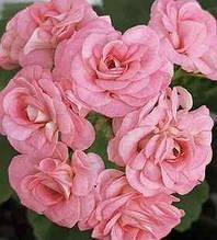 Рассада саженцы Пеларгония зональная Grainger's Antique Rose