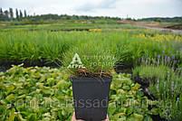 Костриця зелена, 1 л, фото 2