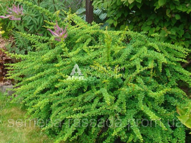 Барбарис Тунберга Green Carpet (2 л, 15-20 см)
