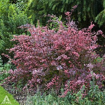 Барбарис Тунберга Pink Queen, 10-12 см, 1 л