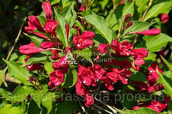 Вейгела гібридна Newport Red, 20-25 см, 3 л